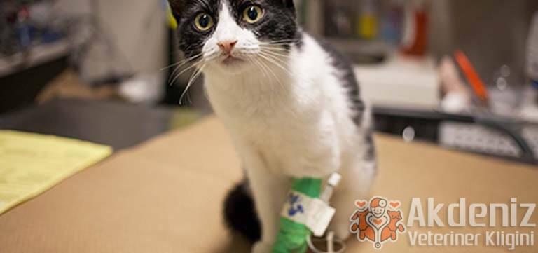 kedi-hastaliklari